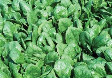 Hazzard's Seeds Spinach Whale 1,000 seeds