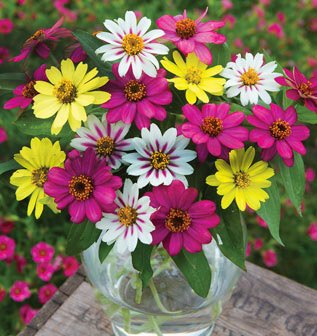 Saavyseeds Cut Flower Mix Zinnia Seeds - 55 Count