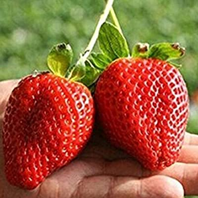 Red Strawberry Seeds, 100Pcs Red Strawberry Seeds Delicious Fruit Plant Bonsai Home Garden Decoration - Red Strawberry Seeds : Garden & Outdoor