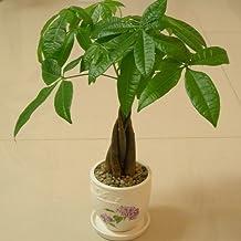 Indoor Evergreen Plant Pachira Macrocarpa Seeds 1pcs Money Tree Seeds, Bonsai Seeds Malabar Chestnut Cayennenut