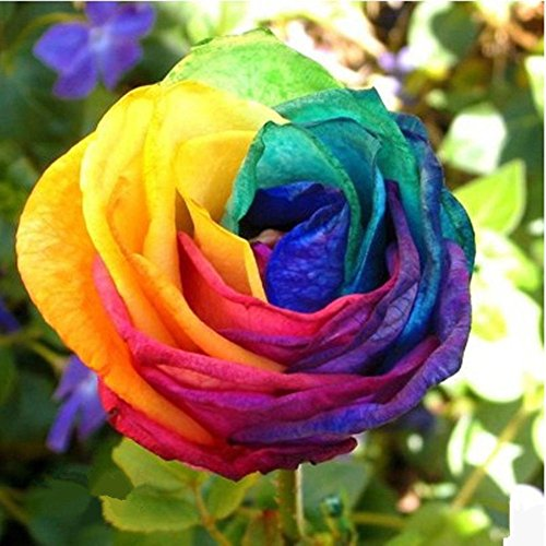100pcs-splendid-rare-rainbow-rose-flower-seeds-colorful-plant-garden-ca