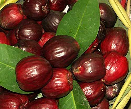 PLAT FIRM GERMINATIONSAMEN Samen in Saison 5 Samen RED Mountain Obstbaum Syzygium malaccense