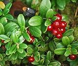 LINGONBERRY Vaccinium Vitis-idaea - 250 Bulk Seeds