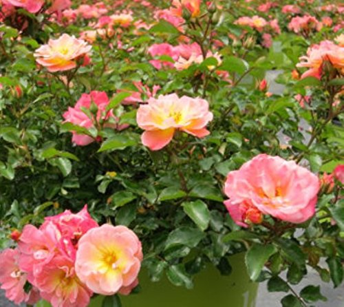 (Peach Drift Groundcover Rose - Quart Pot )