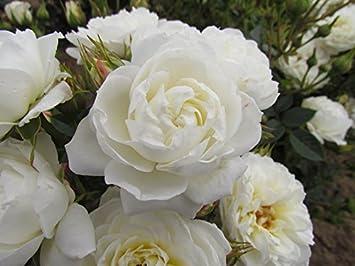 Snowcap Potted Patio Garden Rose Bush White Cream Repeat