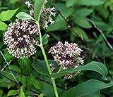 Asclepias syriaca (Common Milkweed) (100 grams seeds)