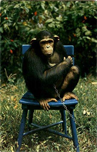 Pet Chimpanzee - 5