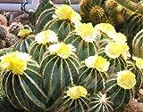 Seeds Parodia Magnifica Rare Notocactus Eriocactus Succulent Cactus Get 25 Seeds Ex 01