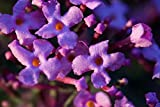 Home Comforts Peel-n-Stick Poster of Butterfly Bush Lilac Plant Buddleja Davidii Poster 24x16 Adhesive Sticker Poster Print