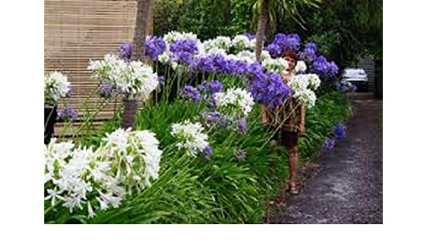 Amazon Com 25 Agapanthus White Purple Mix Lily Of The Nile