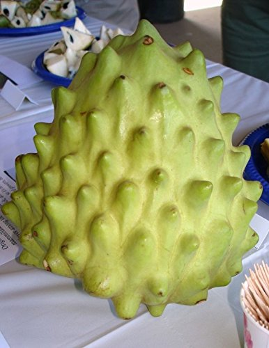 9EzTropical - El Bumpo Cherimoya - Grafted Tree - 4 Feet Tall