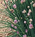 David's Garden Seeds Herb Chives Staro D840A (Purple) 1000 Open Pollinated Seeds