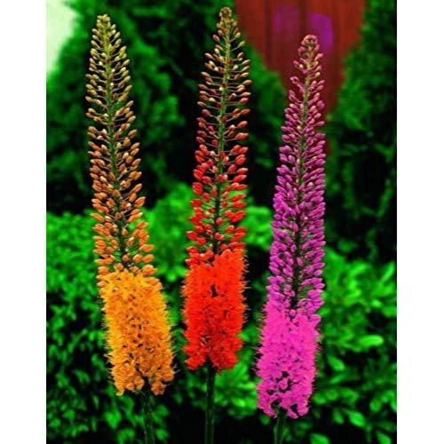Foxtail Lily Mix, Eremurus Deluxe Mix