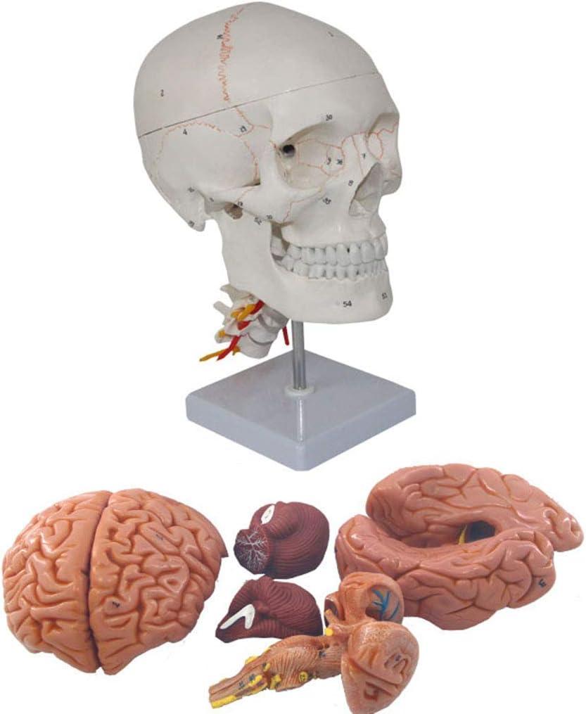 LXX Modelo de Calavera anatómica Humana, Escala 1:1, Modelo de Calavera anatómica con señales Digitales, Modelo de Calavera Humana Desmontable de 3 Partes, para Ayuda de formación médica