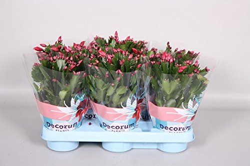 christmas Cactus Plant in a 10cm pot. Schlumbergera Perfect Plants