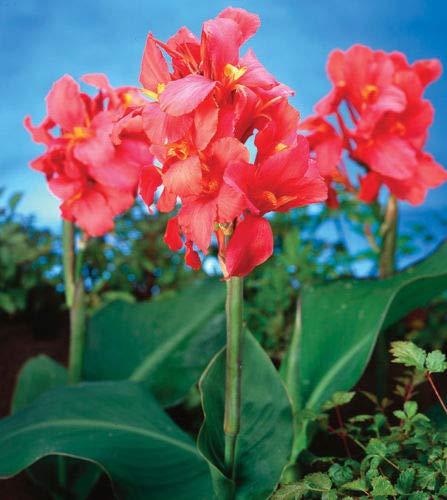 (Details About 1 City of Portland Canna Lily Rhizome We Ship Healthy Hardy Bulbs)