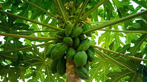 Indigo Herbs Polvo Hoja de Papaya 100g: Amazon.es: Salud y ...