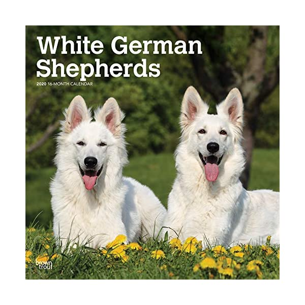 White German Shepherds 2020 12 x 12 Inch Monthly Square Wall Calendar, Animals Dog Breeds 1