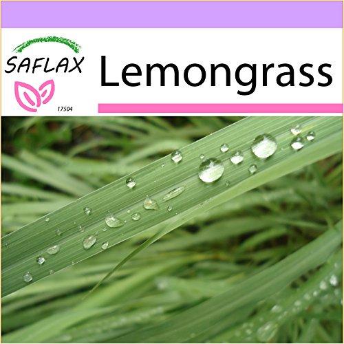 (SAFLAX - Lemongrass - 50 Seeds - Cymbopogon flexosus)