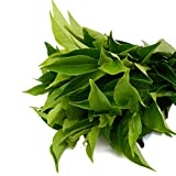 Camellia sinensis Tea Plant Live Black White, Green & Oolong Excellent gift