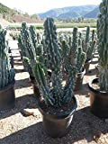 Simply Savvy Co Cereus Peruvianus Monstrose Apple