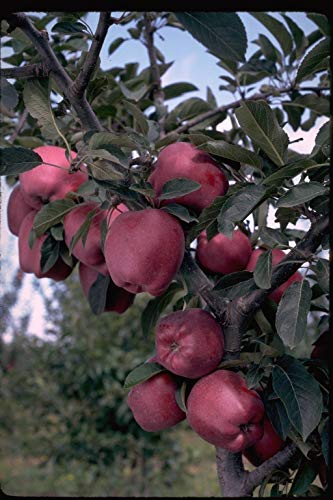 Arkansas Black Apple 5 (-20 to -10 Degree F) for Fall Planting Tree Seeds -