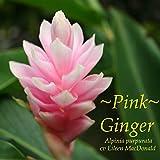 Pink Ostrich Plum Ginger Alpinia Purpurata HawaiiPot Plant