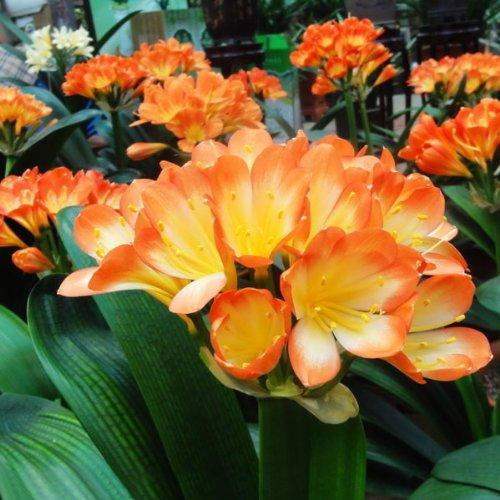 5pcs-bush-lily-clivia-seeds-living-room-plant-5pcs-arbusto-semillas-clivia-lirio-planta-de-salon