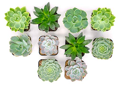 Succulent Plants | 20 Echeveria Succulents | Rooted in Planter Pots with Soil |Real Live Indoor Plants | Gifts or Room Decor by Plants for Pets by Plants for Pets (Image #4)