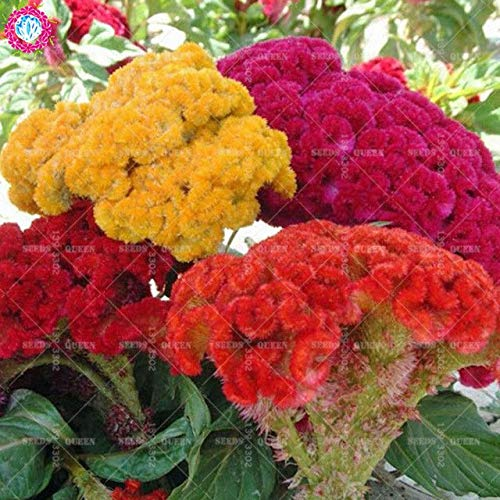 AGROBITS REGALO # 100 piezas Flor de la cresta de gallo del flamenco rojo (celosia cristat), Color magnífico, plantas...