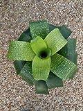 1 Super Rare Bromeliad Vriesea Fenestralis Variegated House Plant Indoor Succulent