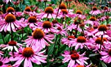 500 Purple Coneflower Seeds - Perennial Wildflower - Non GMO