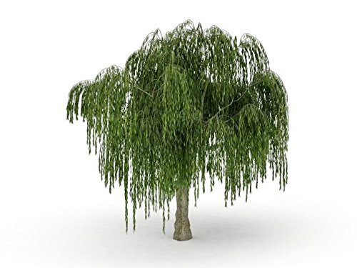 One Dwarf Weeping Willow Tree Plant - Ready to Plant - Burning Bush Weeping Willow - Unique and Small Indoor/Outdoor Tree Shrub Plant - Excellent Bonsai Tree