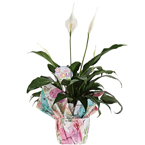 Costa Farms Live Indoor Flowering Peace Lily in Butterfly Garden Gift-Wrap with Best Mom Decorative Message, 6-inch Pot by Costa Farms