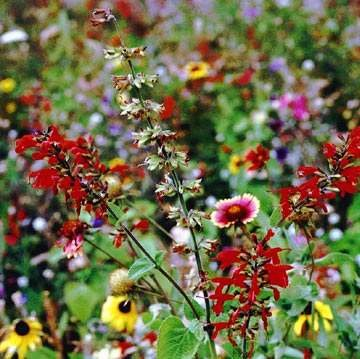 Outsidepride Texas/Oklahoma Wildflower Seed Mix - 1 - Seed Wildflower 1 Lb