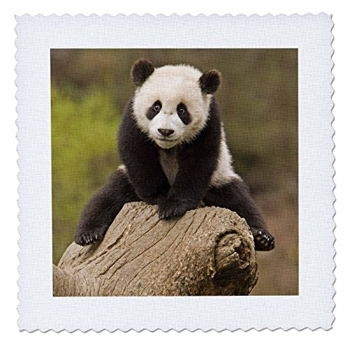 Wolong Panda Reserve China - 3dRose qs_70238_2 China, Wolong Panda Reserve, Baby Panda Bear on Stump-AS07 AGA0001-Alice Garland-Quilt Square, 6 by 6-Inch