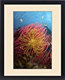 Framed Print of Indonesia, Papua, Pisang Islands. Two varieties of feather star crinoids