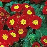 PRIMROSE FLOWER (20 SEEDS) PRIMULA MEGAN PRIMROSE, Excellent Pot Plant