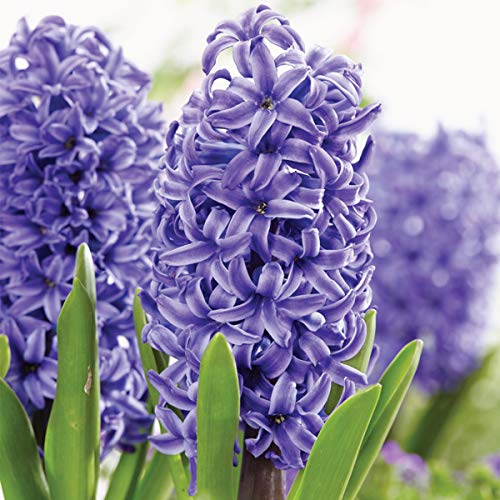 Burpee Pearl Hyacinth | 5 Large Flowering Fall Bulbs for Planting, Blue