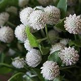Gomphrena White Globe Flower Seeds (Gomphrena Globosa) 50+Seeds