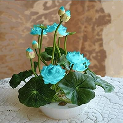Brand New! 10pcs/pack bowl lotus seed hydroponic plants aquatic plants flower pot water lily seeds Bonsai Garden
