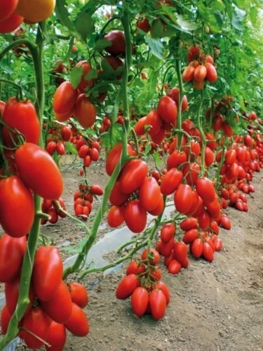 San Marzano Tomato Heirloom (Pack of 30, 2 Packets) (Best Hybrid Tomato Seeds In India)