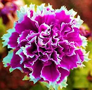 Petunia del jardín Volante Flor de Hornos Bonsai semillas de flores de petunia 50 semillas / pack