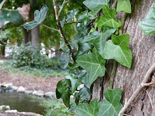 ENGLISH IVY plant 15 Live rooted cuttings evergreen ground cover Hardy Vines