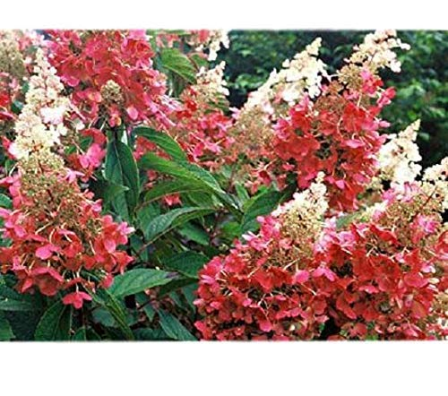 Quick Fire Hydrangea - Proven Winners - Live Plant - Quart Pot