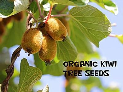 10 Kiwi Fruit Tree Seeds