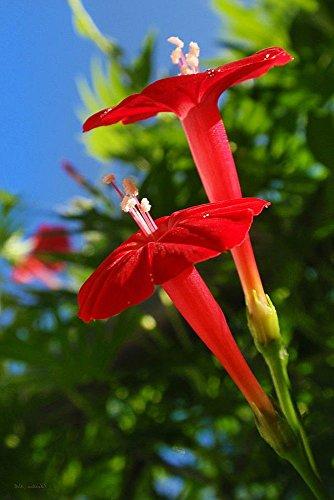 Cardinal Climber 25 Seeds - Cypress -