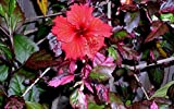 10+ Dinnerplate Hibiscus/ Red Hot/ Perennial Flower Seed/ Easy to Grow/ Huge 10-12 Inch Flowers