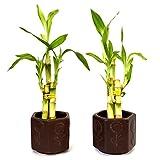 9GreenBox - Live 3 Style Party Set of 2 Bamboo Plant Arrangement w/Ceramic Vase