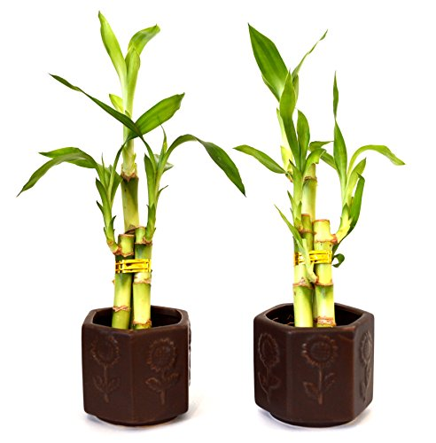9GreenBox - Lucky Bamboo - Ceramic Vase 2 Set